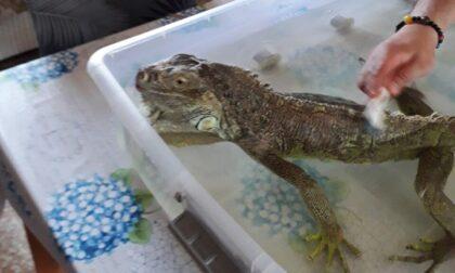 I cinquanta giorni in fuga di Goodzilla: l'iguana scappata a Nembro è stata ritrovata